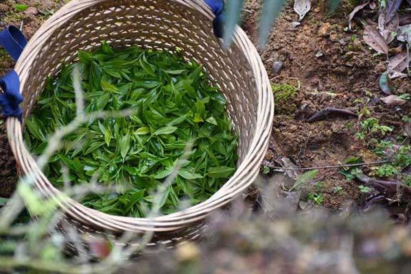 湖南红茶喝正山小种的好处,锐意进取